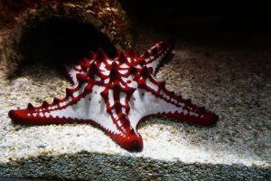 Foto di una stella marina nel Muséum-Aquarium de Nancy.