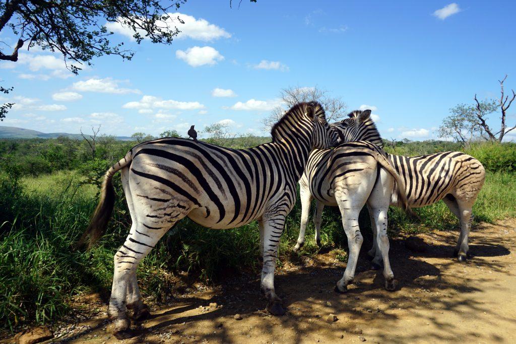 Foto di zebre in Sudafrica.