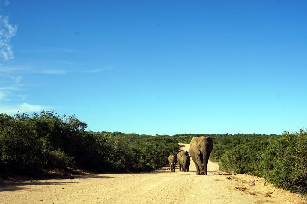 Foto di alcuni elefanti nell'Addo Elephant Park, Sudafrica.