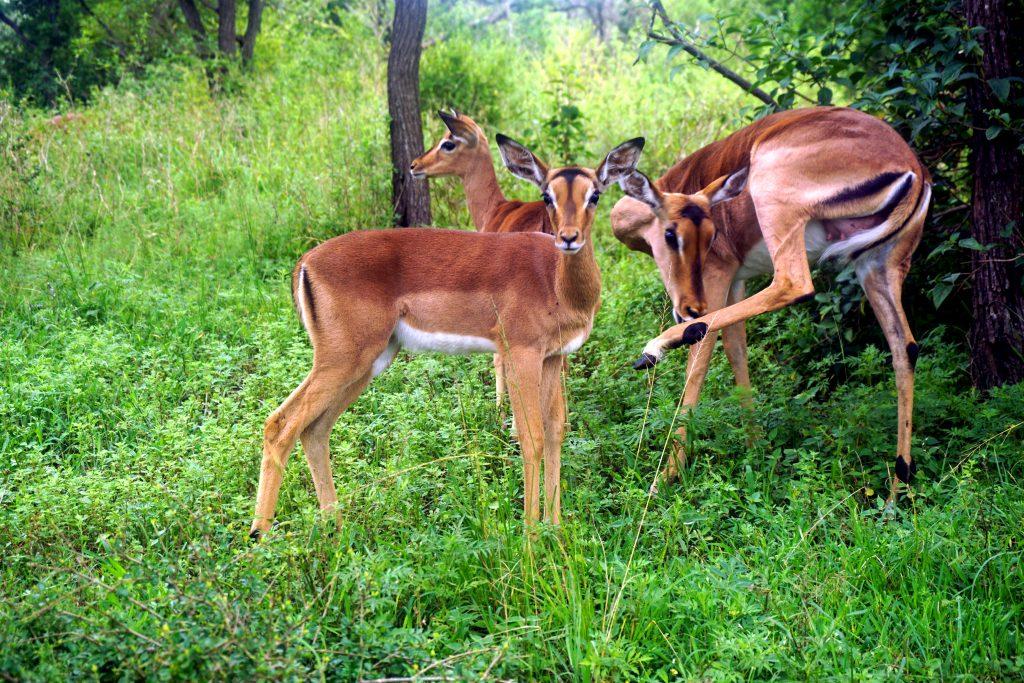 Foto di impala nella Tala Game Reserve, una cosa da visitare nei dintorni di Durban, Sudafrica.
