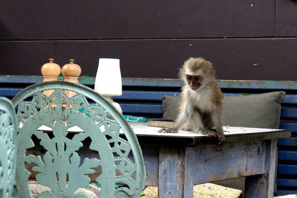 Foto di una scimmietta al bar, Sudafrica.