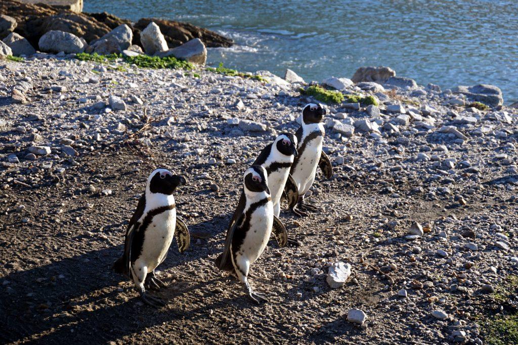 Foto dei pinguini sudafricani a Betty's Bay, Stony Point, nella Whale Coast.