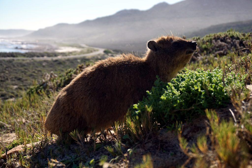 Fotografia di una lontra africana.