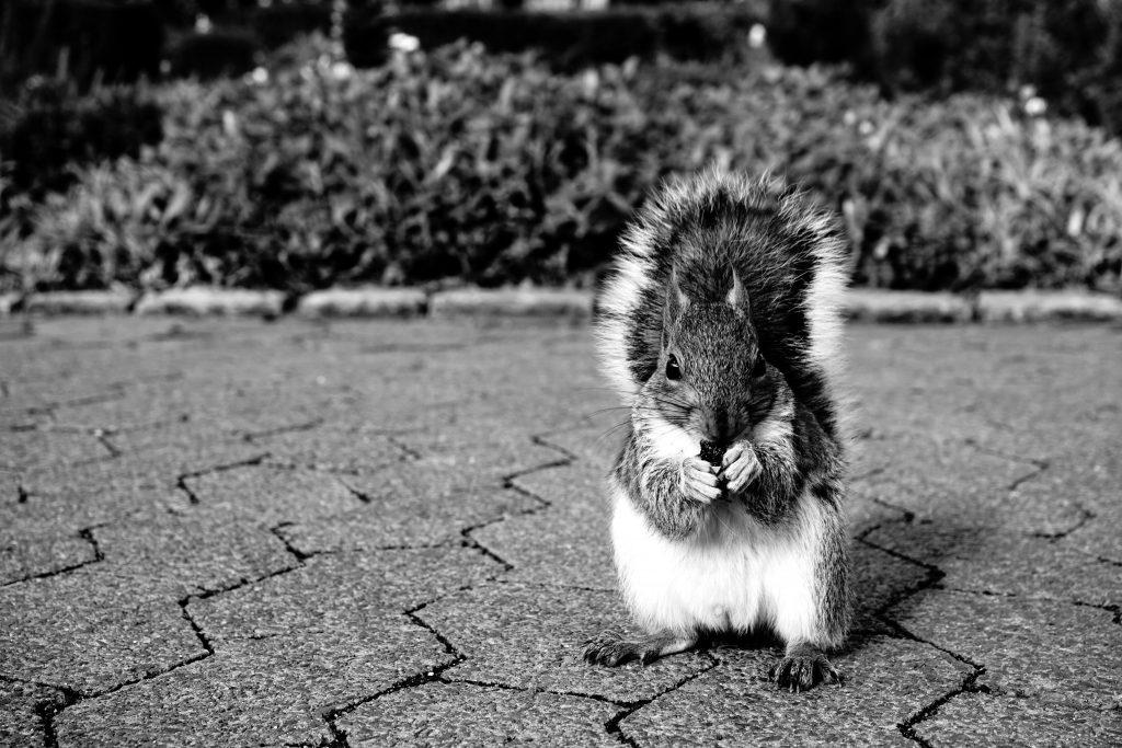 Foto in bianco e nero di uno scoiattolo.